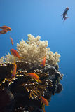 Squamipinnis de Pseudanthias - fêmea Foto de Stock