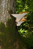 Squamosus Polyporus гриба, растя на дереве (Polyporus Squamosus) Стоковая Фотография