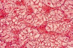 Squamous epithelial cells under microscope view for education hi. Stology. Human tissue royalty free stock images