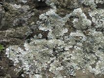 Squamulose Foliose lav royaltyfria foton