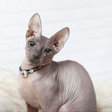 Square background with Donsphinx cat in collar. Light gray square background with Donsphinx cat in collar with diamonds Royalty Free Stock Images