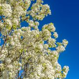 Square Close up of a white flowering tree isolated against a clear blue sky background royalty free stock photography