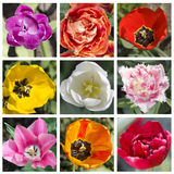 Square collage of multicolored tulips. The view from the top, ma Royalty Free Stock Images