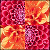 Square collage of orange and pink Dahlias Stock Images