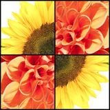 Square collage of Sunflower and Dahlia Stock Images