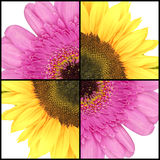 Square collage of Sunflower and Gerbera Royalty Free Stock Photo