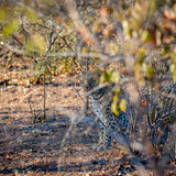 Square crop of a leopard sat under a tree Stock Images