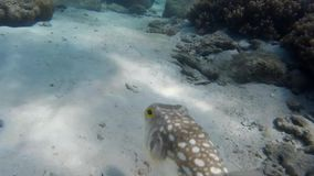 Square fish underwater. Square spotted fish underwater on the bottom stock video footage