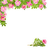 Square floral frame with pink briar Stock Photo
