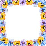 Square frame of watercolor blooming tricolor violet viola pansy flowers on a white background with copy space for text in the royalty free illustration