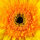 Square Gerbera Marigold Flower Macro Stock Photos