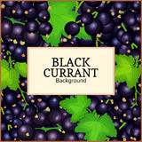 Square label on ripe black currant background. Vector card illustration. Black berry branch fresh and juicy currant for Stock Image
