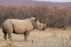 Square-lipped Rhinoceros Royalty Free Stock Images