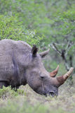 Square-lipped Rhinoceros (Ceratotherium simum) Stock Photos