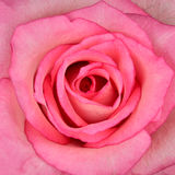 Square Macro of Beautiful Pink Rose Stock Photography