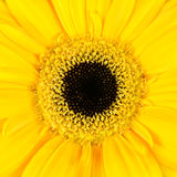 Square Macro of  Yellow Gerbera Flower Stock Images