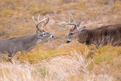 Free Square Off Of Two Dominant Whitetail Bucks Stock Photography - 48872972