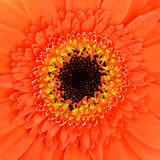 Square Orange Gerber Flower Macro Royalty Free Stock Images