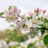 Several nice blooms on apple tree with bee on one of them Royalty Free Stock Images