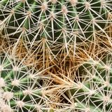Fragment of three cactuses with sharp prickles royalty free stock photos