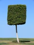 Square shape tree Royalty Free Stock Photo