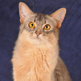 Square somali cat portrait. Looking at camera siting at home on blue textile sofa Stock Photography