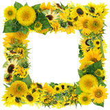 Square summer sunflowers frame Royalty Free Stock Photography