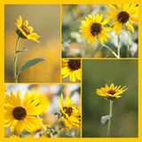 Square Sunflower and Bee Collage. 5 Kansas sunflower photos in a square collage Stock Image