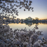 Square Sunrise Photo of Thomas Jefferson Memorial during Cherry Blossoms in Washington DC Royalty Free Stock Image