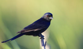 Square-tailed Drongo Royalty Free Stock Image