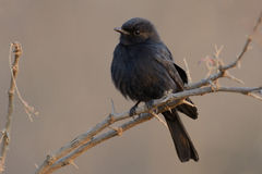 Square-Tailed Drongo (Dicrurus Ludwigii) Stock Images
