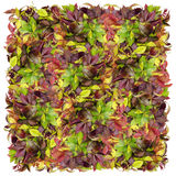 Square from  wild grapes Royalty Free Stock Photography