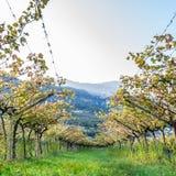 Italian vineyard in the sun. Trentino, Italy. Squared image of Italian vineyard in the sun. Garda Lake wine. Grappa vines. Italy royalty free stock photography