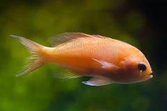 Squarespot神仙的basslet Pseudanthias pleurotaenia 库存图片