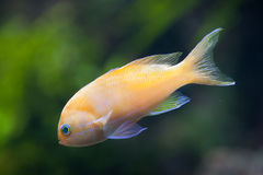 Squarespot神仙的basslet Pseudanthias pleurotaenia 免版税库存图片
