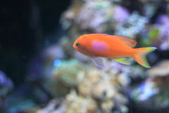 Squarespot anthias. Also known as pink square anthias stock photos