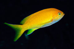 Squarespot anthias (Pseudanthias pleurotaenia) Royalty Free Stock Photography
