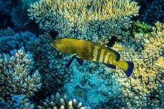 Squaretail coralgrouper. Near the reef stock photos