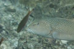 Squaretail koralowy grouper przy Surin wyspą Fotografia Royalty Free