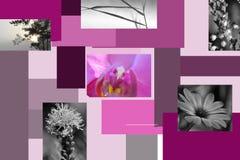 Squarez roxo Fotografia de Stock
