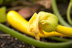 Squash blossom growing in vegetable garden Royalty Free Stock Photos