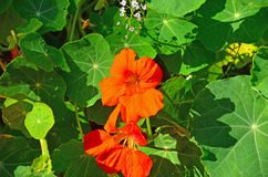 Squash blossoms Royalty Free Stock Images