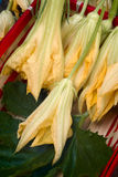 Squash blossoms or pumpkin flowers Royalty Free Stock Images
