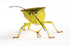 Squash Bug Stock Images