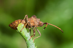 Squash bug stock photography