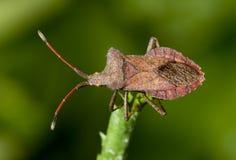 Squash bug Coreus marginatus. Overview of a brown squash bug. Coreus marginatus stock image