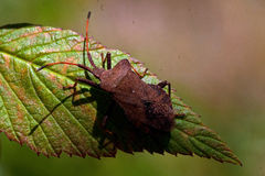 Squash bug Coreus marginatus Royalty Free Stock Images