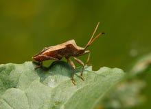 Squash bug on sorrel leaf Stock Images