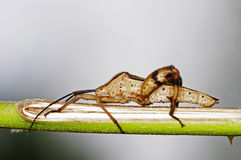 Squash bug Royalty Free Stock Image