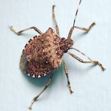 Squash bug. On wall Stock Images